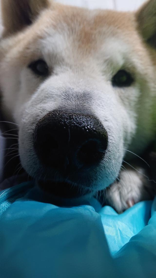 画像: 【ひめくりワンダホー】ラッキーくん(柴犬)
