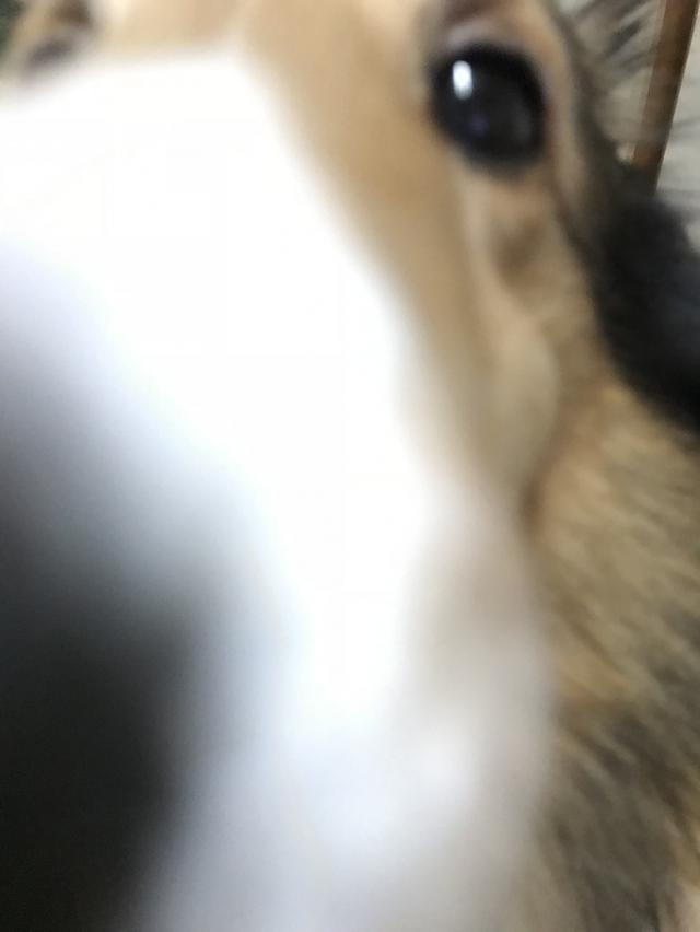 画像: 【ひめくりワンダホー】ちゃすけくん(シェットランド・シープドッグ)