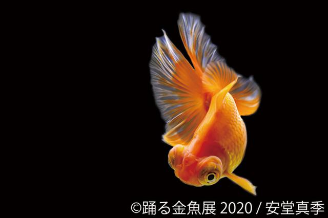 画像: 見ているだけで癒される 浅草橋で「踊る金魚展 2020」開催