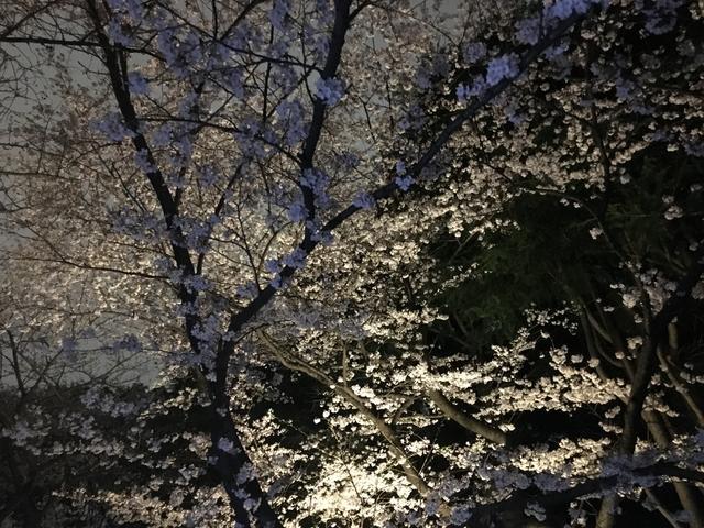 画像: 月明かりの夜桜
