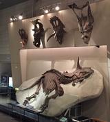 画像: かはくのトリケラトプスとは!
