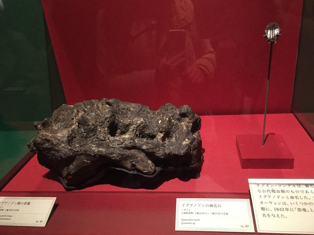 画像: イグアノドン化石