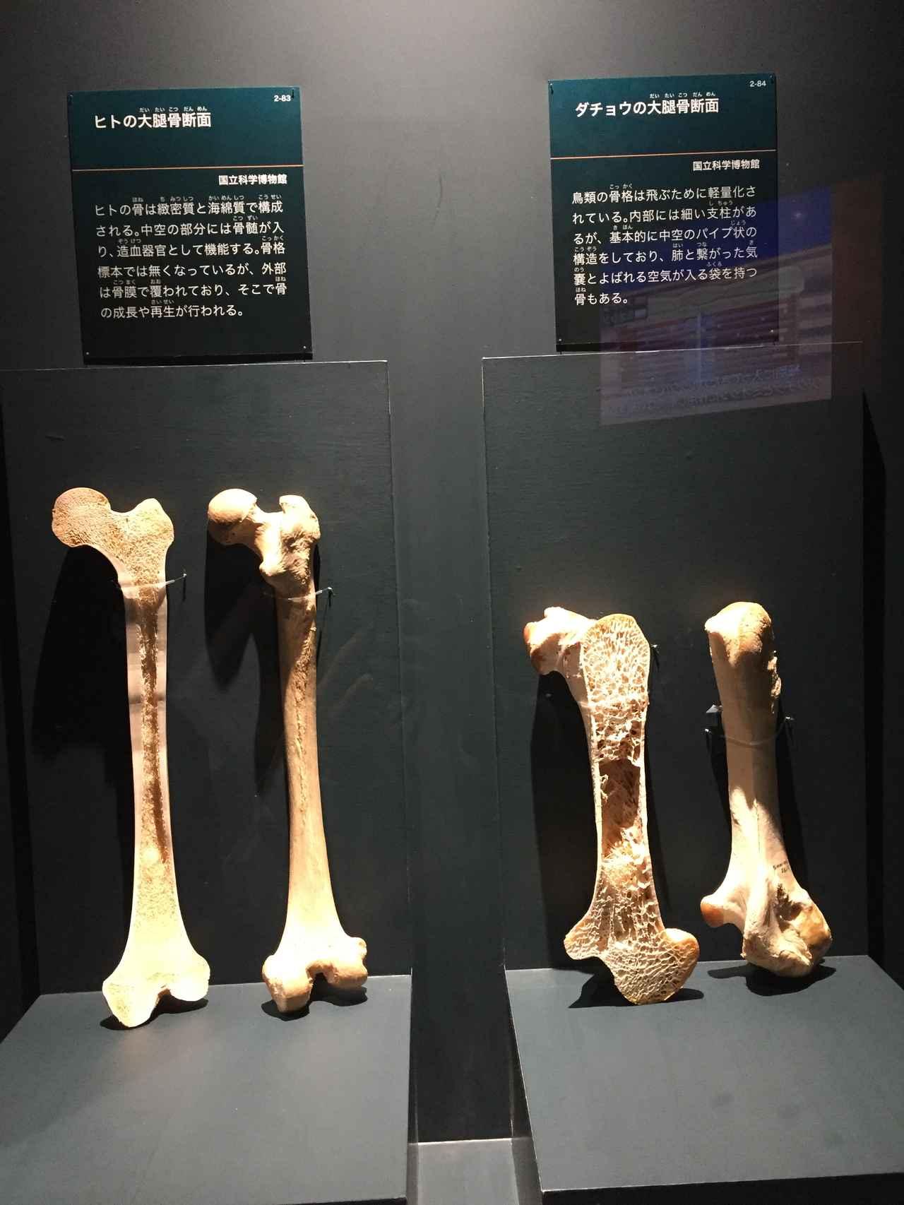 画像: 左はヒトの大腿骨断面