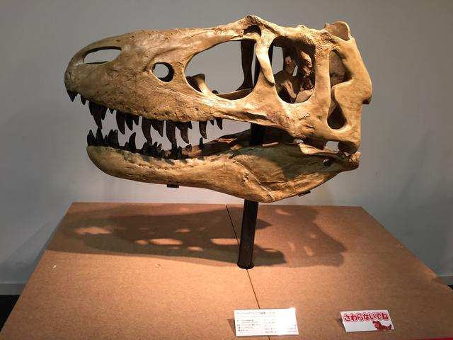 画像: アルバートサウルス頭骨レプリカ