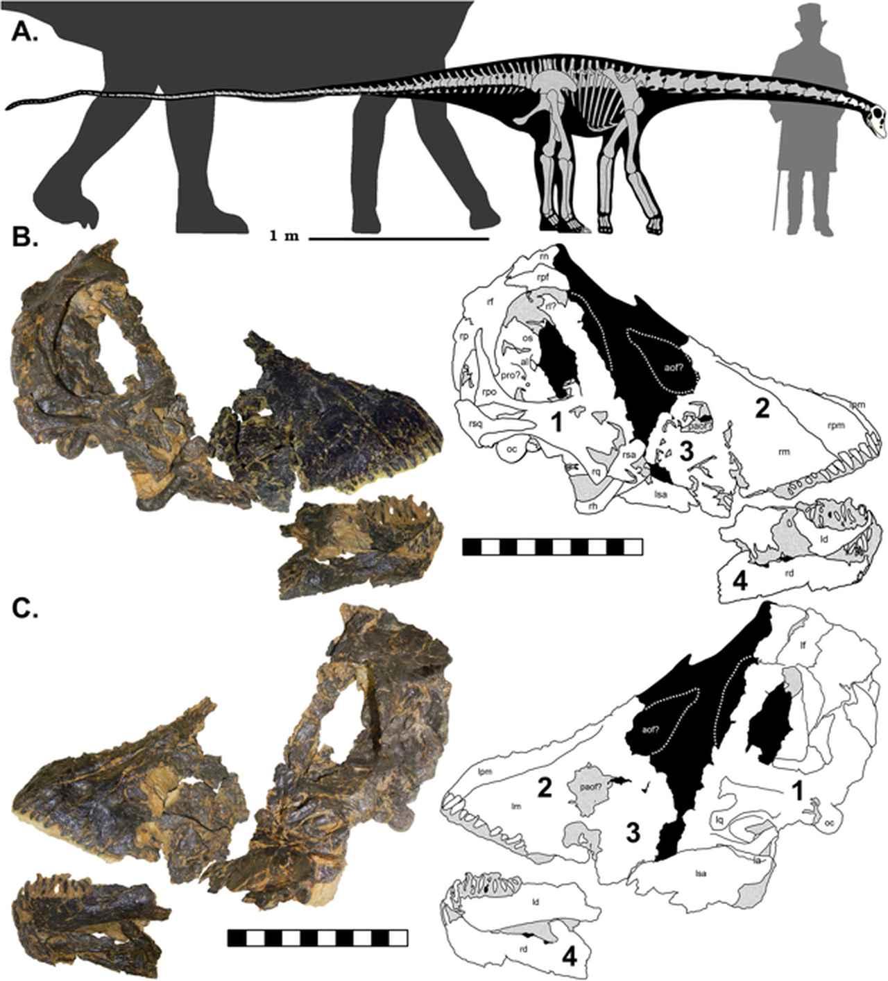 画像: The Smallest Diplodocid Skull Reveals Cranial Ontogeny and Growth-Related Dietary Changes in the Largest Dinosaurs
