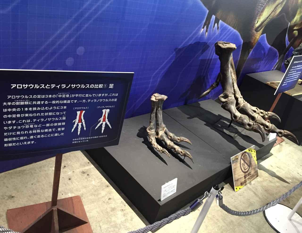画像8: ティラノサウルスなど足の速い恐竜の中足骨に注目してみよう!アークトメタターサルネイル