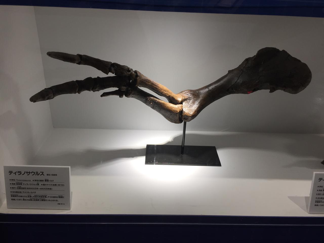 画像5: ティラノサウルスなど足の速い恐竜の中足骨に注目してみよう!アークトメタターサルネイル