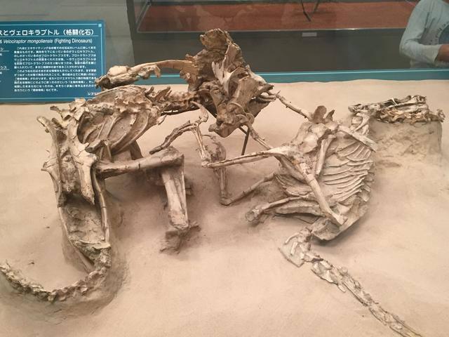 画像: ヴェロキラプトルとプロトケラトプス、戦った状態で化石になっている恐竜は本当に戦っていたのか?ゴビ砂漠の珍しい闘争化石!