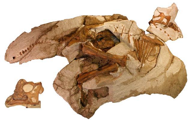 画像: パラサウロロフス実物化石(幼体) 所蔵:レイモンド・M・アルフ古生物博物館(アメリカ) © Raymond M. Alf Museum of Paleontology