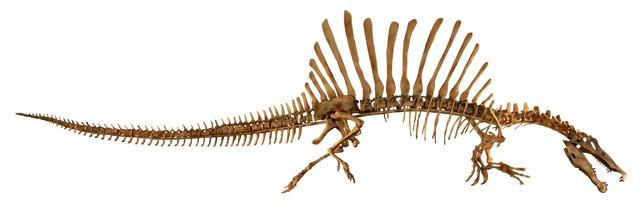 画像: スピノサウルス全身 Courtesy of The University of Chicago /photo by Mike Hettwer