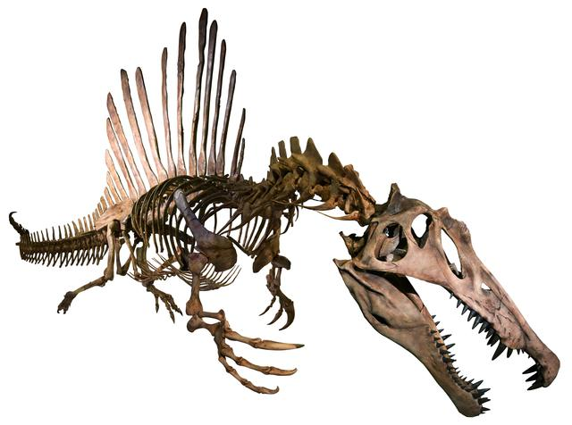 画像: スピノサウルス正面 Courtesy of The University of Chicago