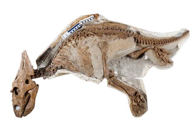 画像: カスモサウルス実物化石(幼体) 所蔵:アルバータ大学(カナダ) Photographed by John Ulan, © University of Alberta, Faculty of Science.