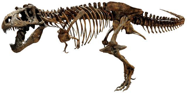 画像: ティラノサウルス全身 Courtesy of The Royal Saskatchewan Museum