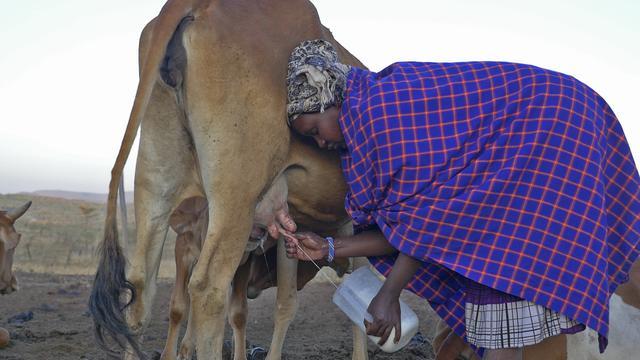 画像: 朝早くから牛の乳をしぼる