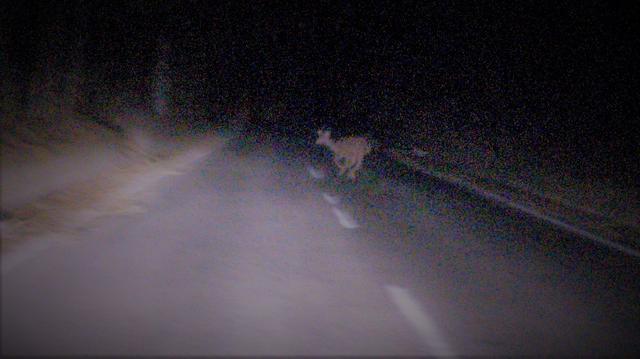 画像: 夜、母鹿に続いて、道路を横断する小鹿、富士山麓、鳴沢村にて