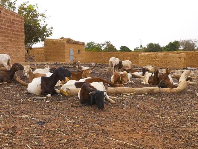 画像: チルメンガさんが飼っているたくさんの家畜