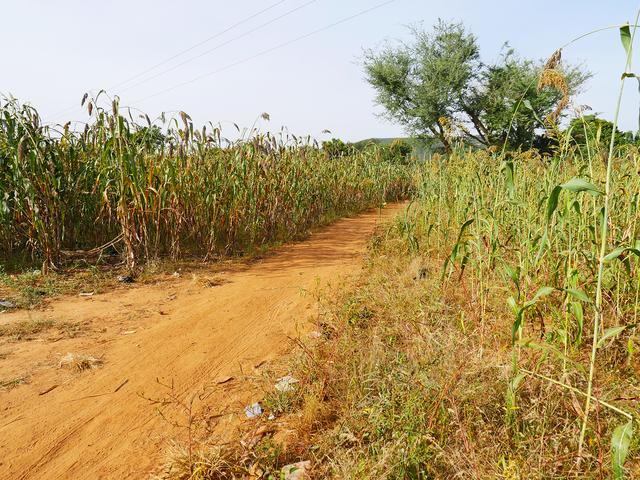 画像: 赤ソルガムの畑