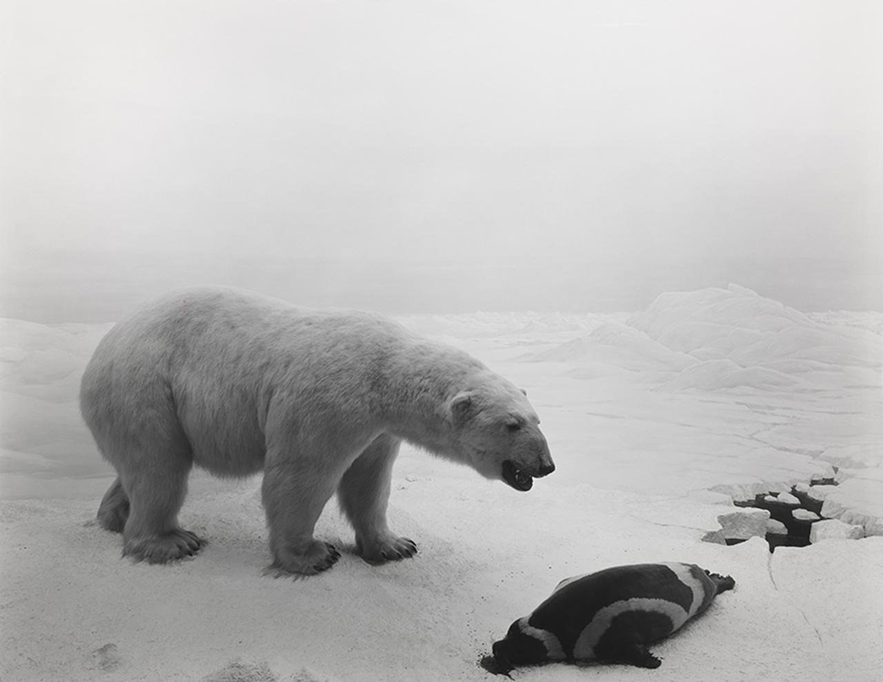 画像: 杉本博司《シロクマ》1976年 ゼラチン・シルバー・プリント 42.3×54.6 cm 所蔵:大林コレクション Hiroshi Sugimoto Polar Bear 1976 Gelatin silver print 42.3 x 54.6 cm