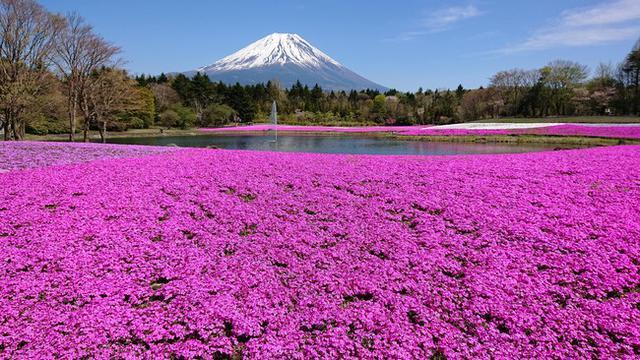 画像: 芝桜と富士山の鮮やかな競演に気分は躍る