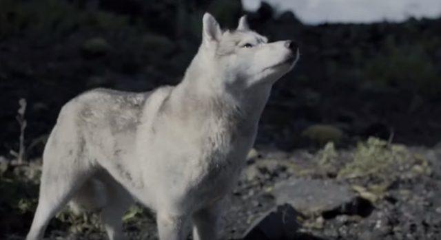 画像: なんだろう。怖いワン、と狼も不安気。 www.youtube.com
