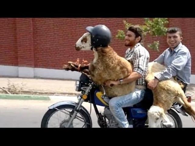 画像: Iranian farmers equip goat with helmet on motorbike ride www.youtube.com
