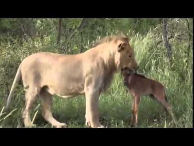 画像: 狩るつもりだった鹿を守るライオン youtu.be