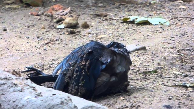 画像: 溺れているカラスを助けるクマ youtu.be