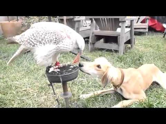 画像: 犬にエサを分け与える優しいハヤブサ youtu.be