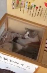 画像: 【動画】ホンモノの猫まねいちゃった…招き猫おみくじの中に猫がいる!!
