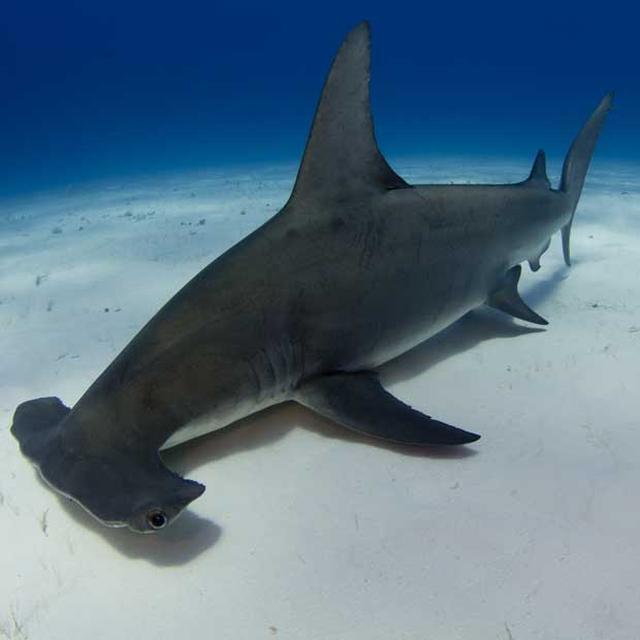 画像: Wikipedia によると、ハンマーヘッドシャークことシュモクザメは、メジロザメ目のシュモクザメ科 Sphyrnidae に属するサメの総称とのことです。頭がハンマーのように見えることから、この名前がついたわけですね。 www.diveworldwide.com