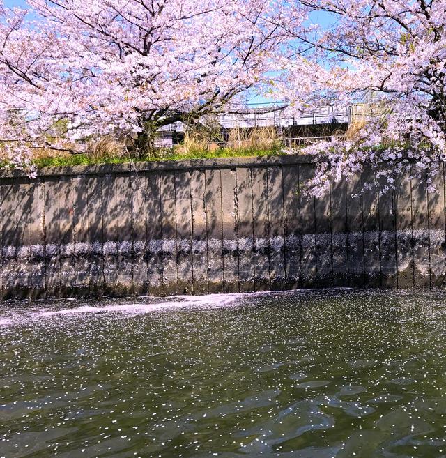 画像: 舞い落ちる桜もとっても綺麗!
