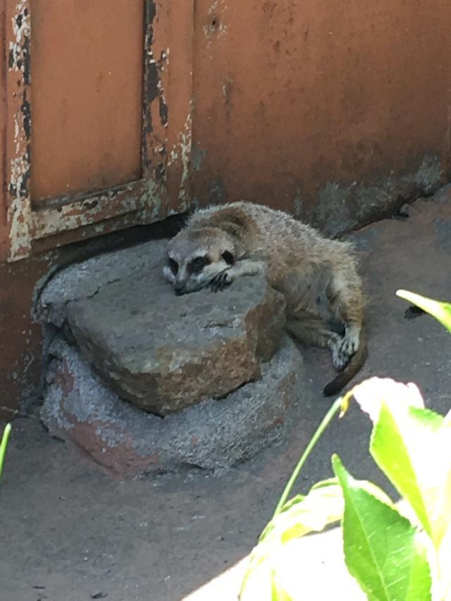 画像: ミーアキャットも暑くて立たない。
