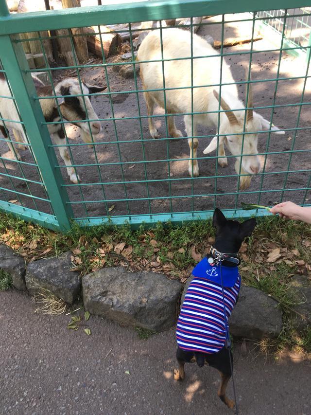 画像: ヤギが気になってるんだか持ってる小松菜が欲しいのか。