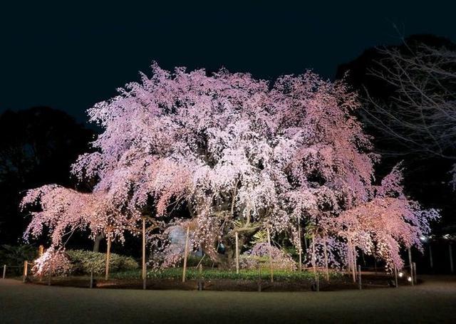 画像: 画像提供:東京都公園協会 hanami.walkerplus.com