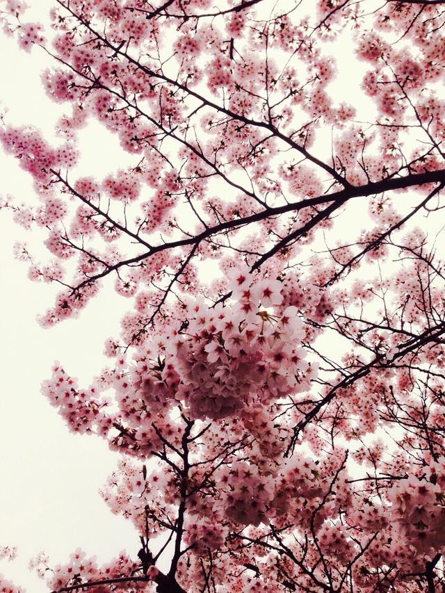 画像2: 春は桜とお酒とミク様♡お花見の計画はお早めに〜!!【水曜日のミク様】