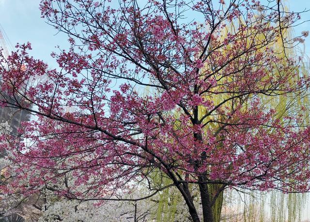 画像: 所々にある濃いピンクの桜がいい感じ。