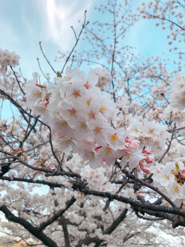 画像11: ミク様は花より団子!?今年初のお花見は◯◯へ行ってきました♡【水曜日のミク様】