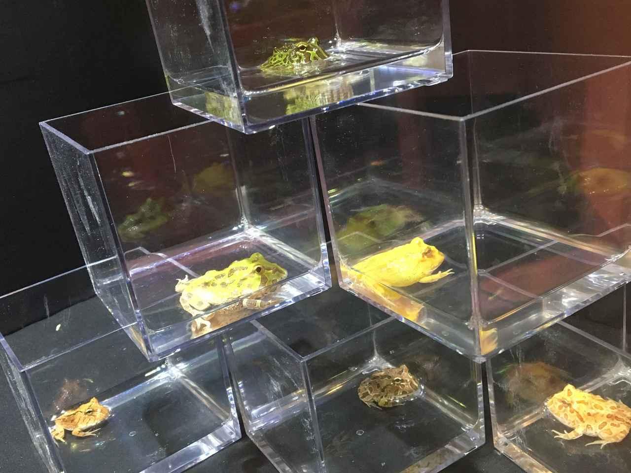 画像: ツノガエルの仲間 おもちゃみたいで可愛い!何か溶けてるの!笑 柔らかそう。