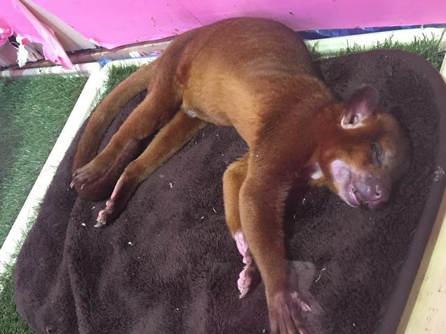画像: キンカジュー 永遠寝てる!笑 肉球触りたいいいい