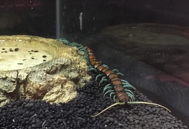 画像: ブルーレッグオオムカデ 足が青いから!!色合いもキモめ。