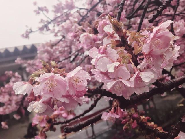 画像2: 三浦海岸桜まつり