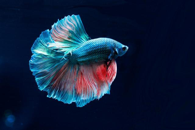 画像: ベタと呼ばれる熱帯魚 www.jewelry-aquarium.com
