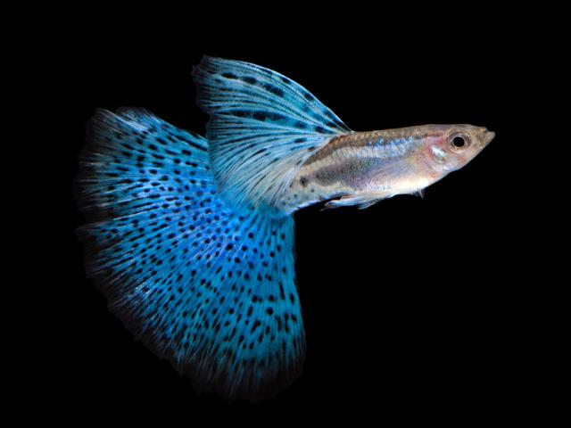 画像: グッピーと呼ばれる熱帯魚 www.jewelry-aquarium.com