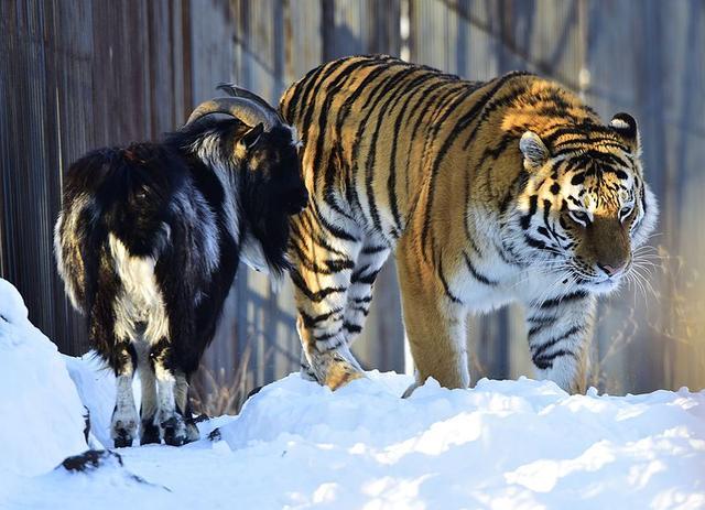 画像: 右がトラのアムール、左がヤギのアムールです・・・って書かなくてもわかりますよね(苦笑)。 ja.wikipedia.org