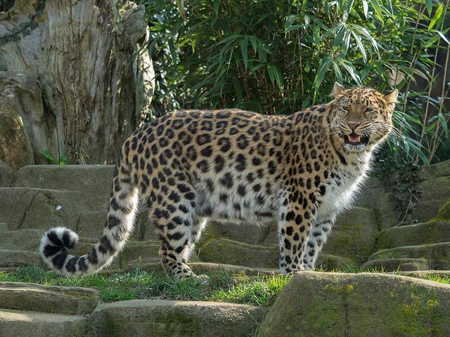画像: こちらは野生のアムールヒョウではなく、動物園で飼育されている個体の写真です。余談ですが8月21日には神戸市立王子動物園で、同園での繁殖3例目になるアムールヒョウの赤ちゃんが3匹生まれたことがニュースになりました。 bg.wikipedia.org