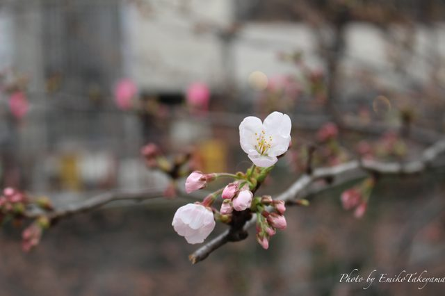 画像: 中目黒・開花宣言当日の桜