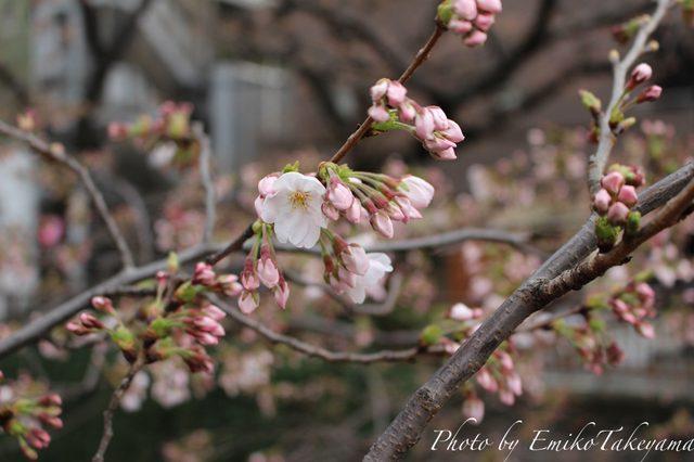 画像: 中目黒の桜・開花宣言当日2015年3月23日