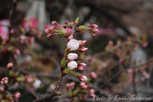 画像2: 中目黒の桜・開花宣言当日2015年3月23日
