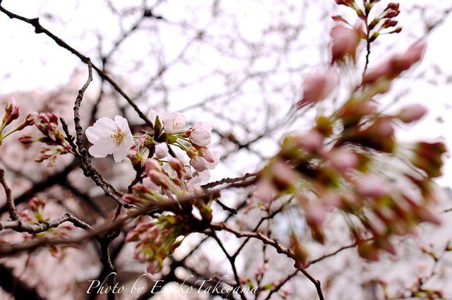 画像: 中目黒の開花宣言当日の桜