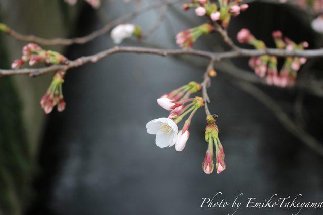 画像1: 中目黒の桜・開花宣言当日2015年3月23日